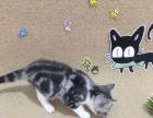 盖伦猫舍 精品加白美短接受预定