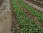 草莓苗技术免费咨询