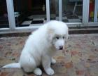 中国专业繁殖双血统大白熊犬舍 可以上门挑选