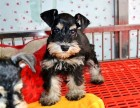 本地专业犬舍繁殖雪纳瑞 雪老头 签协议 包健康