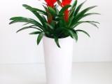 武汉大小型绿植红星红鸿运当头盆栽,开业送礼绿植,高端盆栽