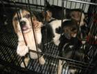 中国较大双血统比格犬繁殖基地 可实地考察