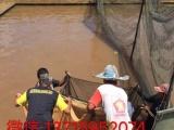 专营精品龙鱼印尼红龙马来西亚金龙