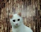 纯白母猫找领养,身体健康