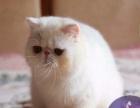 集集名猫 双C 蓝白净梵文弟弟11个月