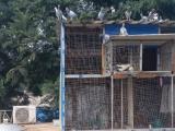 出售20只小信鸽