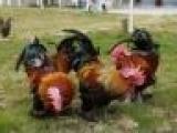 供应临沧市土乌鸡苗批发火鸭苗鹅苗肉鸡苗蛋鸡供应绿壳蛋鸡