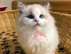合肥哪里卖布偶猫纯种布偶猫多少钱一只