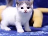 北京宣武藍白小貓咪價格多少