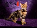 哪里有纯种豹猫猫舍 上海爱宠网 签协议保证