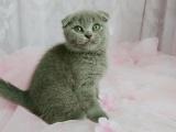 一猫在手 一生牵手 萌萌折耳猫 含泪出售