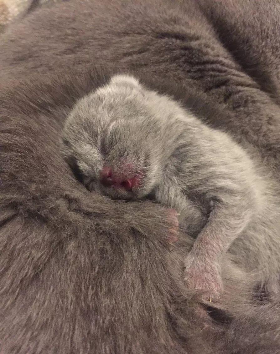 天津体院北英短小奶猫预定中,可上门选