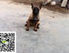 在哪里买纯种的马犬幼犬 马犬幼犬最低多少钱