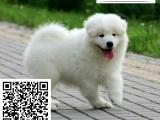哪里的萨摩耶最便宜 哪里有纯种萨摩耶犬