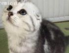 武汉猫舍加菲猫异国短毛猫英短加白美短起司猫折耳猫