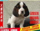 宠物级巴吉度犬 低价热售中 欢迎挑选