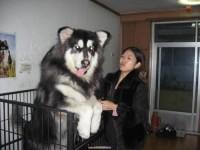 纯种熊版巨型阿拉斯加幼犬 大骨量 健康保障可送货