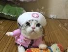 洛阳本地家庭猫舍纯种美国短毛猫,美短加白宝宝可以预定了!