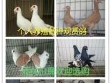 出售元宝鸽,马甲球鸽,芙蓉鸽,金鱼鸽,仙女观赏鸽等