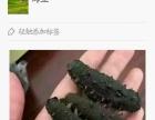 批发零售养马岛海参