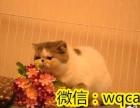 出售高品质猫咪--渐层 加菲 美短 蓝猫 暹罗 折耳