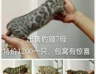 豹猫七只小母特价