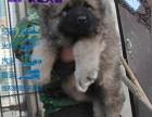 高加索犬价格,大型高加索养殖基地,纯种高加索幼犬