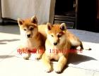 南京哪里卖纯种柴犬 南京日系柴犬多少钱 南京哪里有柴犬出售