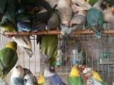 长期批发鹦鹉及繁殖笼繁殖窝饮水器,麻子谷子小米鹦鹉用药