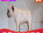 本地出售纯种法牛幼犬,十年信誉有保障