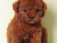 西安养殖场直销,泰迪熊,萨摩耶,博美犬,金毛犬,等多品种