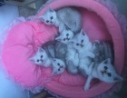 出售自家养的渐层小猫
