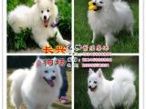 日本尖嘴银狐幼犬.温和聪明.好机灵.保证纯种健康