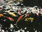 日本纯正锦鲤鱼出售