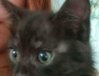 自家繁殖小猫100-200元