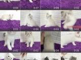 高价收猫 面向全批发各种宠物名猫