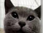 坦洲出售蓝猫便宜