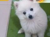 哪里有银狐犬出售 银狐犬多少钱一只 在哪里