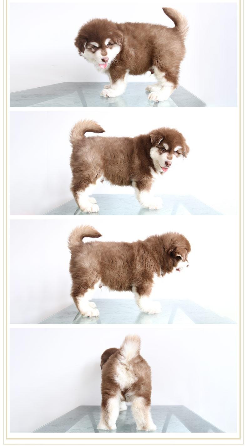武汉直销 金毛犬 比熊犬泰迪犬 巴哥犬 博美犬雪纳瑞犬品种齐