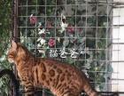 家养孟加拉豹猫 小爱家 第一针疫苗已做