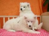 南宁出售 纯种萨摩耶幼犬 疫苗齐全出售中 可签协议健康保障