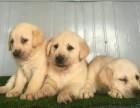 出售品质高血统纯的拉布拉多犬 疫苗驱虫均已做好