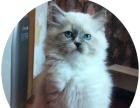 布偶猫蓝手套小母