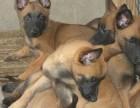 成年会撵野兔野鸡的格力犬价格 惠州血统小马犬价格马犬训练视频