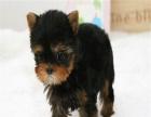 爱宠人的福音, 这里有您的专属爱宠,纯种健康约克夏幼犬出售