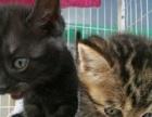 美国美短猫,出售了。