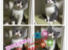 沈阳当地出售 加菲猫 折耳 蓝猫 暹罗 布偶 波斯猫 金吉拉