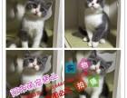 沈阳出售英短蓝猫渐层蓝白美短虎斑起司折耳蓝白蓝猫加菲猫暹罗猫