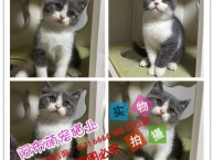 沈阳出售短毛猫 加菲猫 蓝猫 折耳猫 暹罗猫 豹猫 波斯猫舍