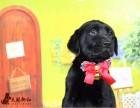 重庆渝中拉布拉多犬比较正规的宠物店